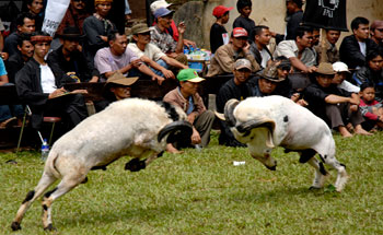 Festival Seni Ketangkasan Domba (Adu Domba), Promosi Wisata Pantai Pangandaran