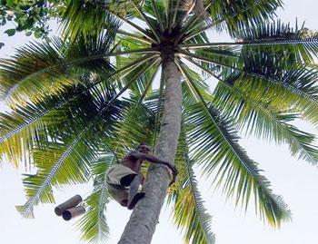 Kehidupan Seorang Petani Gula Jawa di Pangandaran