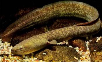 Mengintip Kandungan Ikan Sidat