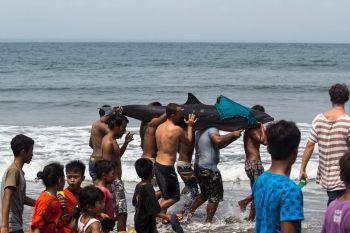 Penyelamatan Lumba-lumba Anak-anak Batu Karas