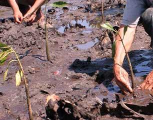 Aksi Tanam 250 Pohon Mangrove
