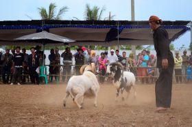 Kontes Ketangkasan Domba Buka Gelaran Kontes Ternak Tingkat Provinsi 2012