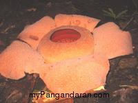 Intip Proses Terbentuknya Bunga Raflesia di Cagar Alam
