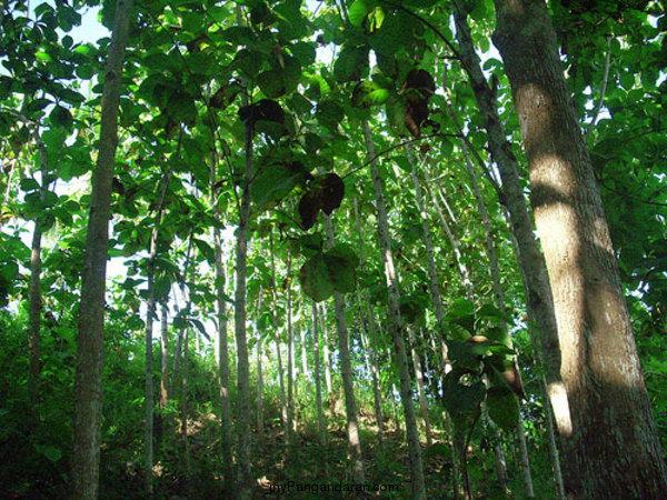 Flora dan Fauna TWA Pangandaran , Kawasan Taman Wisata Alam ...