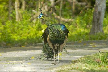 Memotret Keindahan Burung Merak Penghuni Taman Wisata Cagar Alam Pangandaran