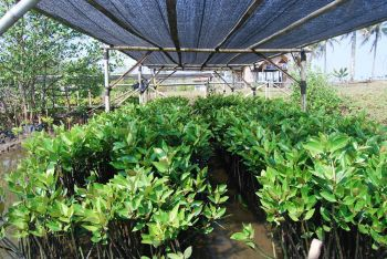 Rehabilitasi Mangrove Bulaksetra