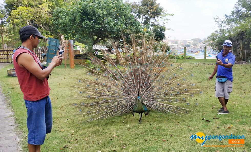 Potret Burung Merak, Sang Penghuni Cagar Alam Pangandaran