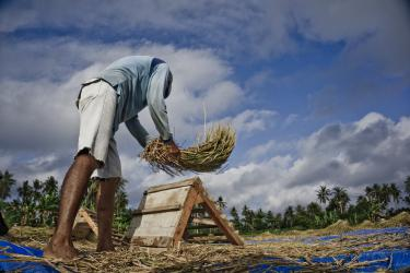 Potret Petani Pangandaran Saat Panen Lebih Awal Karena Kemarau