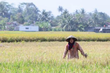 Potret Petani Pangandaran Saat Panen Padi